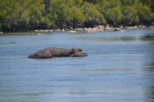 One of many pods in the Kafue River.